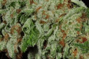 3 Kings Marijuana Strain product image