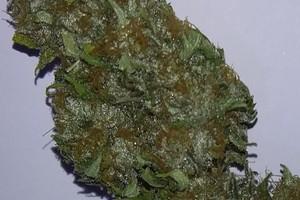 Afghani Hash Plant image