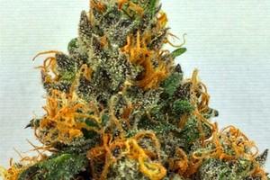 AK-47 Marijuana Strain product image