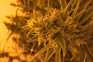 Panama Red Marijuana Strain product image