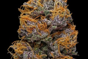 East Orange Focus >> Passion Fruit | Marijuana Strain Reviews | AllBud