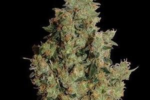 Tangerine Dream Marijuana Strain product image