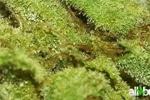 Chemdawg Marijuana Strain featured image