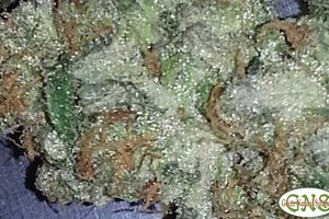 Cherry AK-47 Marijuana Strain featured image