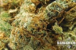 LA Chocolat Marijuana Strain featured image