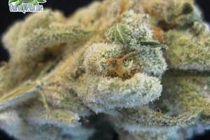 Mob Boss Marijuana Strain featured image