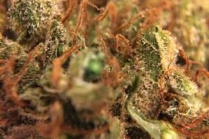 Red Dragon Marijuana Strain featured image