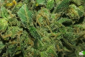 Skunk #1 Marijuana Strain featured image