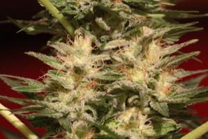 Cinderella 99 Marijuana Strain image