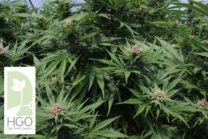 Critical Mass Marijuana Strain image