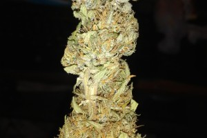 Key Lime Pie Marijuana Strain image