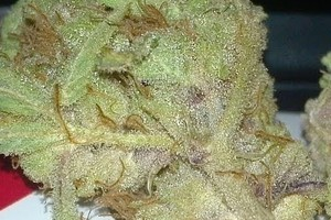 Mother of Berries Marijuana Strain image