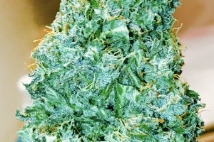 Northern Lights Marijuana Strain image