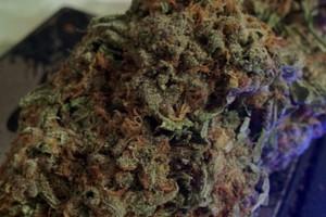 Nuken Marijuana Strain image