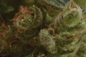 One to One Marijuana Strain image