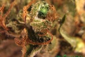 Red Dragon Marijuana Strain image