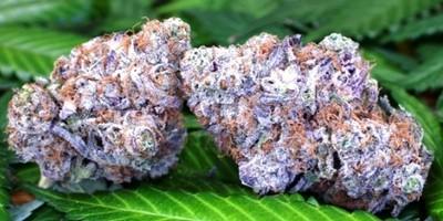 Purple Obamba