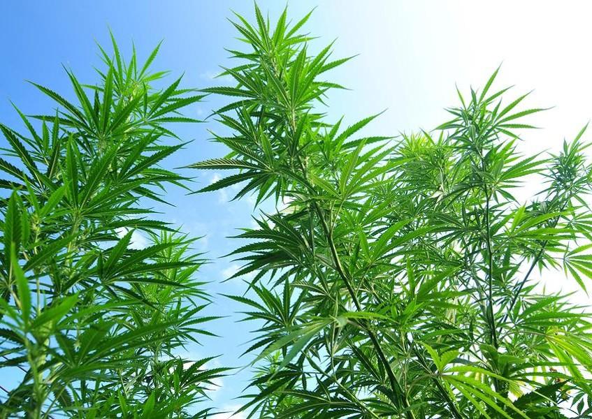 how to start a marijuana plant